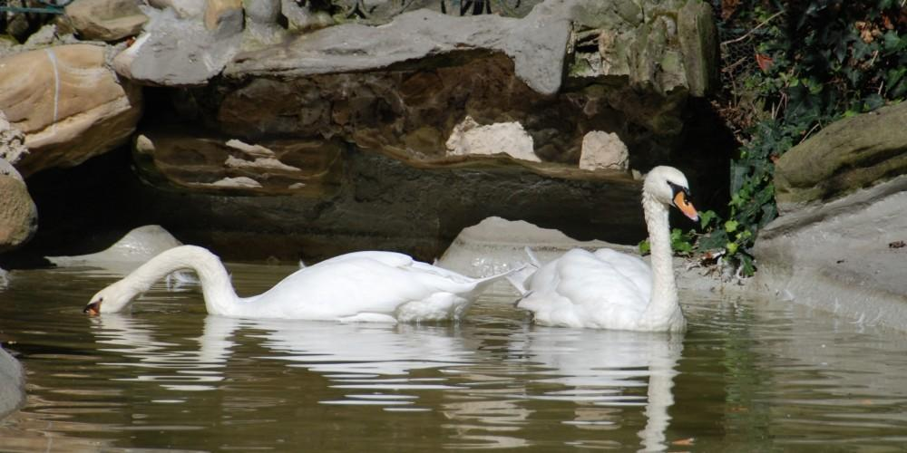 Cisnes estanque de la plaza de Gipuzkoa Donosti